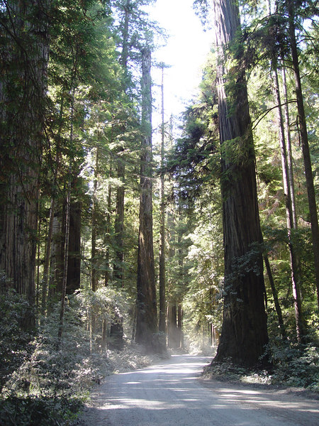 "<FONT COLOR=""yellow"">Stout Grove:</FONT> The first stop on our Trip, Howland Hill Road is about 6 miles long and winds through the Redwoods of Jededhia Smith State Park. It's also the road you need to take for the Stout Grove Trail."