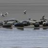Lazy Seals!