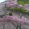 Portland's Waterfront Park<br /> Cherry Blossom.