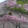 Portland's Waterfront Park<br /> Cherry Blossom.
