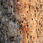 Bored This tree at Sidecut Metropark is riddled with what appears to be damage from the Emerald Ash Borer, a notorious and highly destructive invasive species that threatens ash trees. The l ...