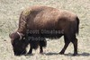 Friday, April 1, 2011 - Battelle Darby Creek Metro Park located in Columbus, Ohio - Home of six female Bison