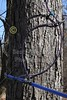 """The trees are tapped and hooked together by the taps - Saturday, February 19, 2011 - The Dawes Arboretum located in Newark, Ohio - Visit at  <a href=""""http://www.dawesarb.org"""">http://www.dawesarb.org</a>"""