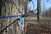 """You can see by this photo the trees are tapped and hooked or strung together by those taps - Saturday, February 19, 2011 - The Dawes Arboretum located in Newark, Ohio - Visit at  <a href=""""http://www.dawesarb.org"""">http://www.dawesarb.org</a>"""