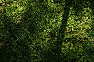 moss in late-afternoon light; Long Trail, Vermont.