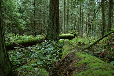 the woods are densely green