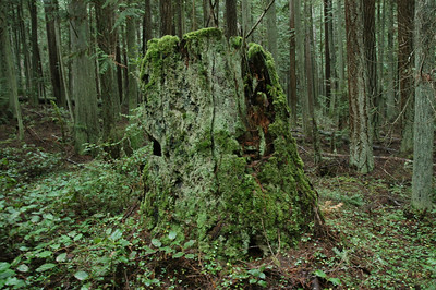 mossy stump with springboard cuts