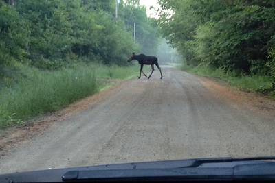 A moose on Cape Moonshine Road.