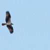 Osprey over Comerford Reservoir.