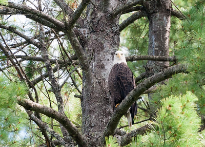 Bald Eagle watches me closely.