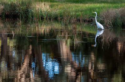 Egret at Kiawah.