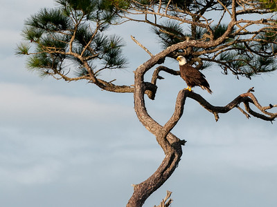 Bald eagle at Kiawah.