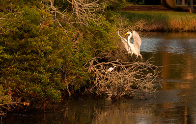 A flock of seagulls and egrets in a feeding frenzy at a lagoon on Kiawah Island.
