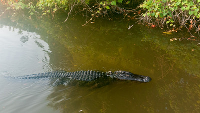 Large alligator
