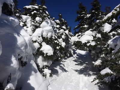 The trees hold a heavy burden of snow; the base may be 4-5' deep here.