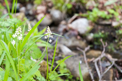 Spring wildflowers along the Glencliff Trail on Mount Moosilauke.