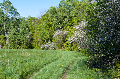 Apple blossoms along the Glencliff Trail through the meadows below Great Bear cabin.