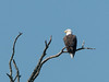 A bald eagle on the shores of Lake Otsego, in Cooperstown.