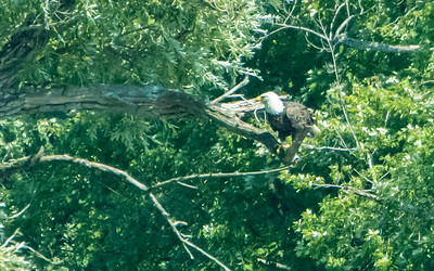 A bald eagle eats his fish catch on the shores of Lake Otsego, in Cooperstown.