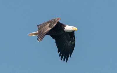 A bald eagle soars over Lake Otsego, in Cooperstown.