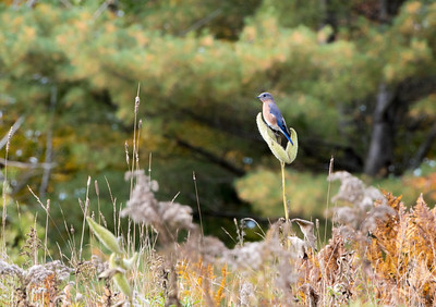 Bluebird on milkweed in a meadow in Lyme.