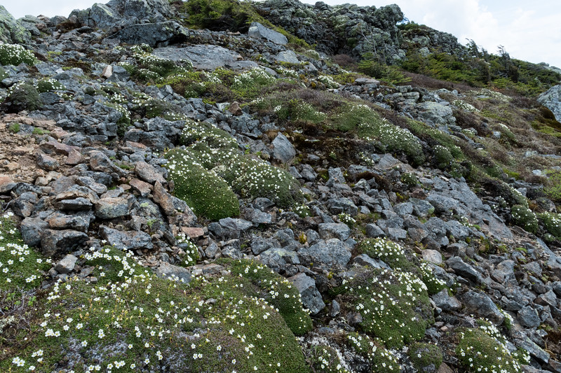 Alpine flowers in bloom near the summit of Lincoln.
