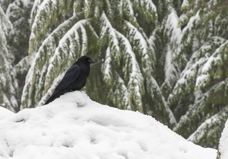 A large black Raven awaits hikers at the snack stop on  Mount Si.