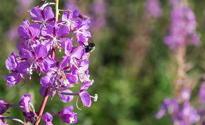 Bees busily pollinate the flowers atop Holt's Ledge on a summer morning.