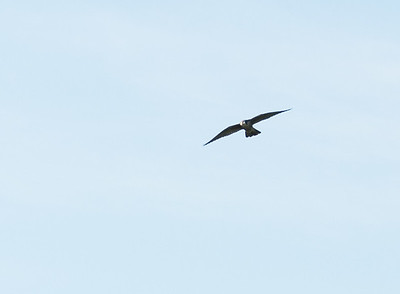 A peregrine falcon soars above the cliffs of Holt's Ledge.