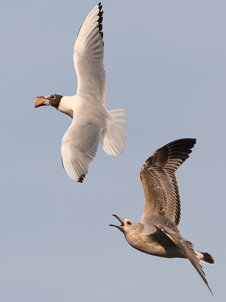 Aerial hunt