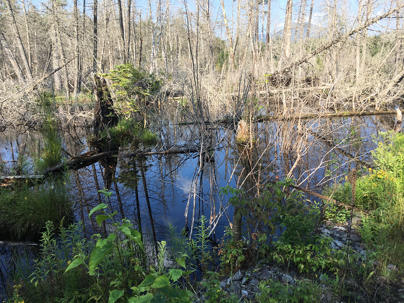 Dead trees dominate this beaver swamp.