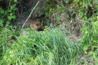 A beaver rests in a niche of the riverbank along the Connecticut River.
