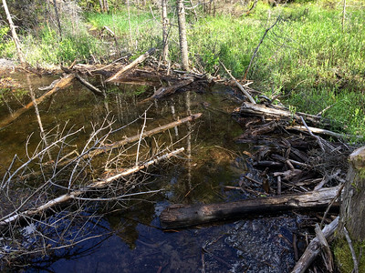 The trail to Panther Brook requires walking along this beaver dam.