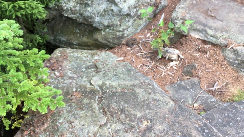 A large garter snake on the summit of Hunter Mountain.