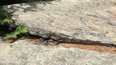 A nest of three juvenile garter snakes on the summit of Hunter Mountain.