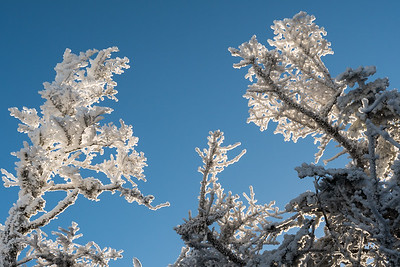 Rime ice coats trees, high on the Glencliff Trail on Moosilauke.