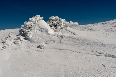 Two sturdy spruce allow deep drifts to form to leeward.