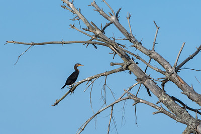 Cormorant? above the Connecticut River near home.