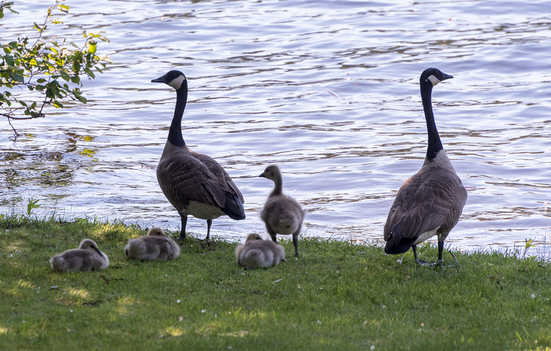 Canada Geese along our home's shore of the Connecticut River.