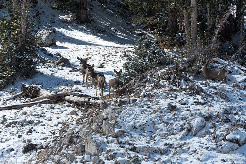 A group of deer were spooked by my passage along the trail in Albion Basin.