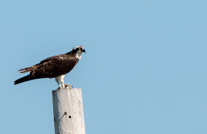 An osprey perching on a pole in the Champlain valley of Vermont.