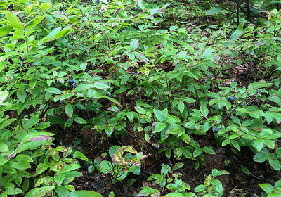 A small blueberry patch on the Whiteface trail.