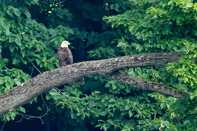 Bald eagle on the Connecticut River, NH.