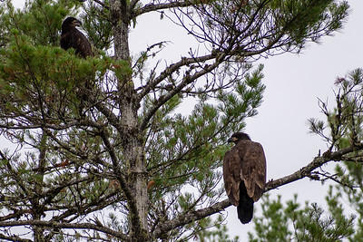 Bald eagles on Moore Reservoir, NH.