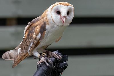 Barn owl at VINS.