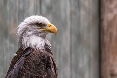 Bald eagle at VINS.