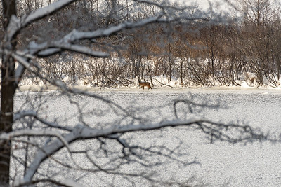 [uncropped] A Vermont bobcat explores the river shore across from our house.