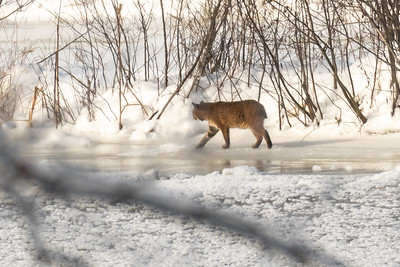 A Vermont bobcat explores the river shore across from our house.