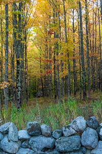 Rows of birch trees in their fall colors, Lyme NH.