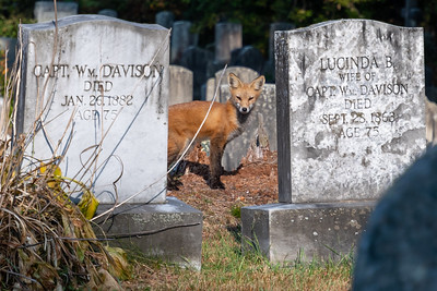 A red fox in the Lyme graveyard.